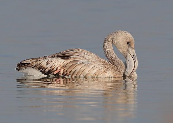 Juvenile Flamingo by NeilSchofield