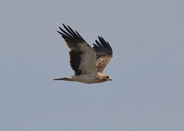 Short Toed Eagle in Flight by NeilSchofield