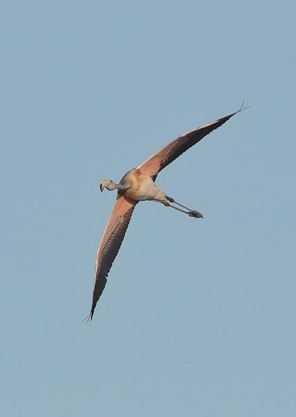 Flamingo in Flight by NeilSchofield