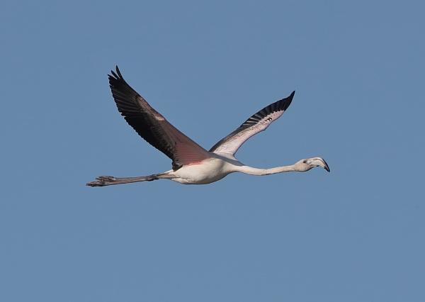 Juvenie Flamingo in Flight by NeilSchofield