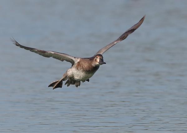 Female Pochard in Flight by NeilSchofield