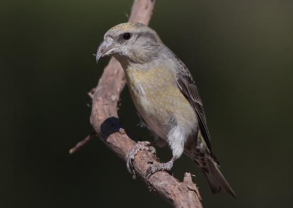 Juvenile Crossbill by NeilSchofield