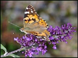 Painted Lady Nectaring on Buddleia:-