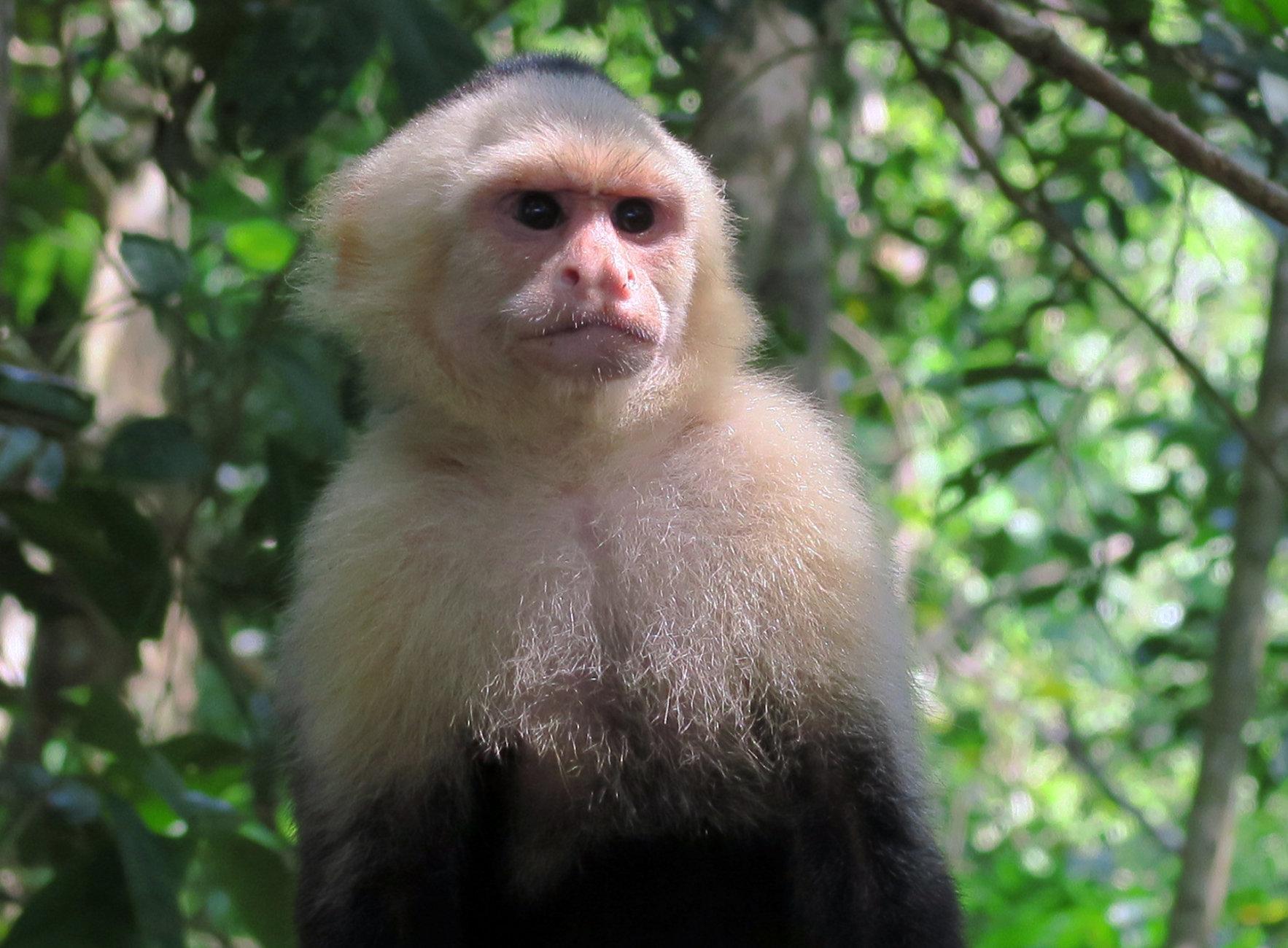 White Faced Capuchin