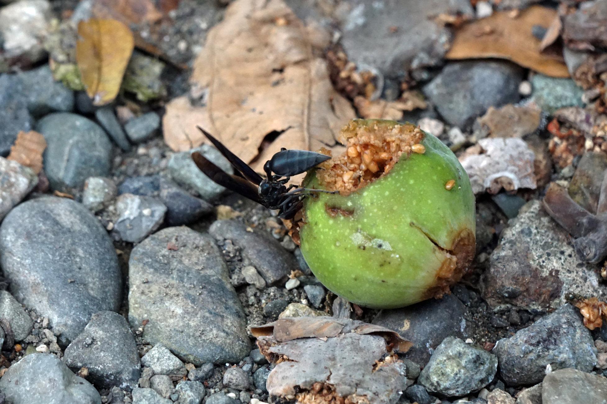 Hornet on Fig