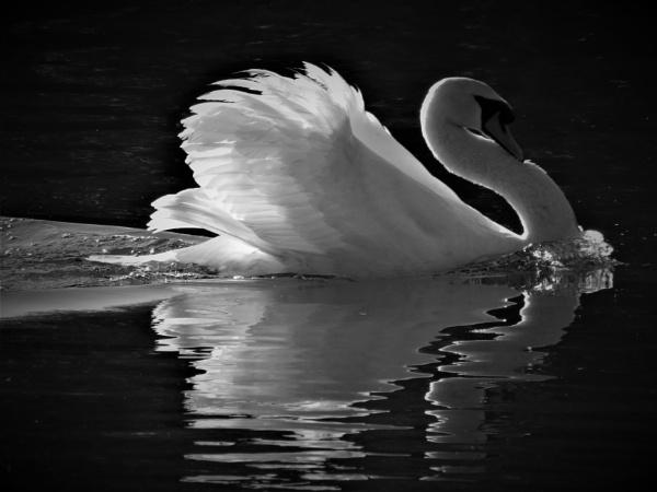 Mr Swan by SUE118