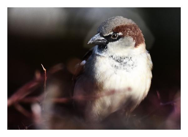 Sparrow by alant2