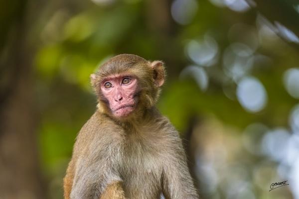 Rhesus macaque... by clicknimagine