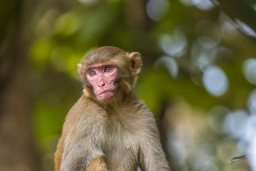 Rhesus macaque...