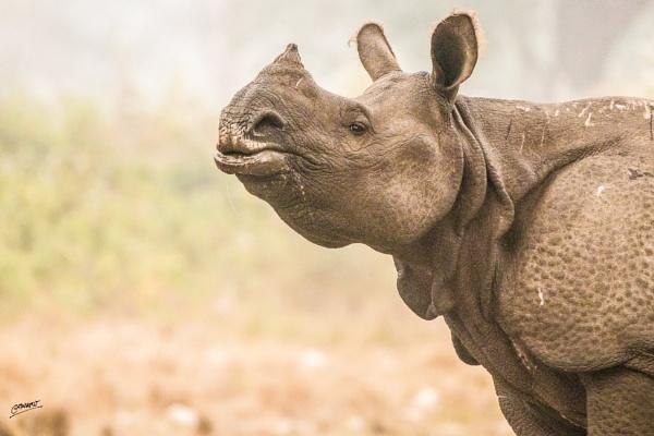 Indian Rhinoceros... by clicknimagine