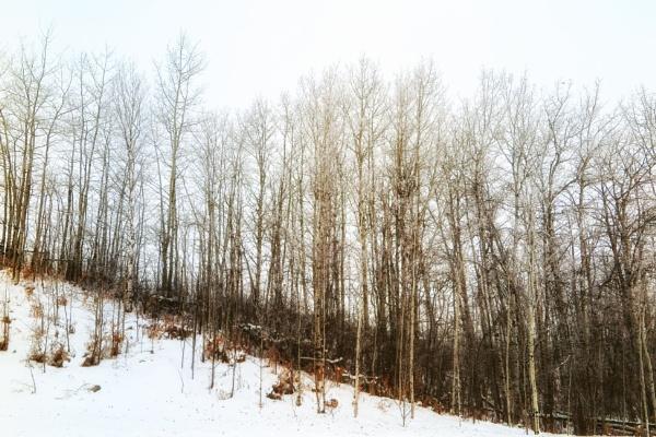 Poplar Trees by FrancisChiles