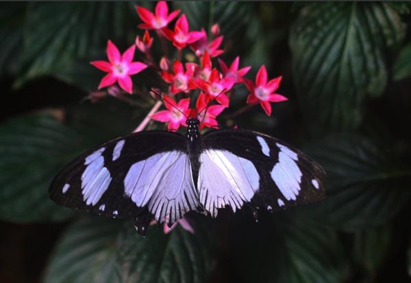 A Mocker Swallowtail (Papilio dardanus) by gconant