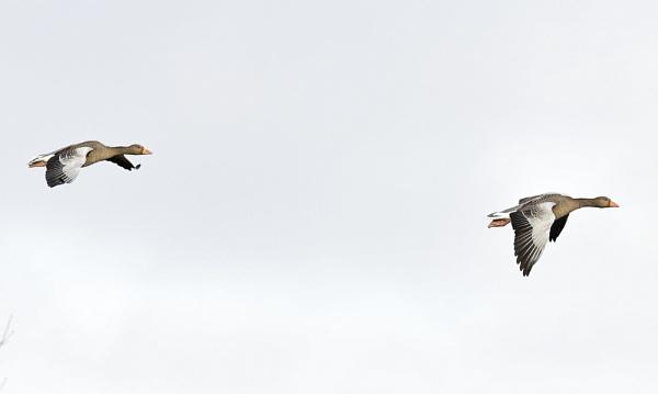 Pair in flight by nealie