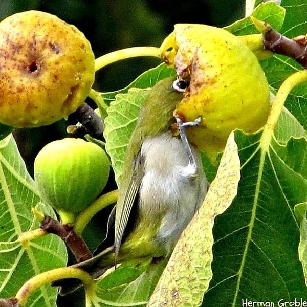 Fig thief by Hermanus