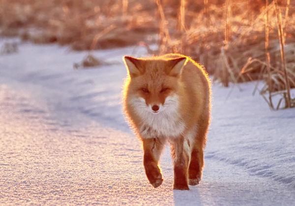 Fox in Nemuro by hannukon