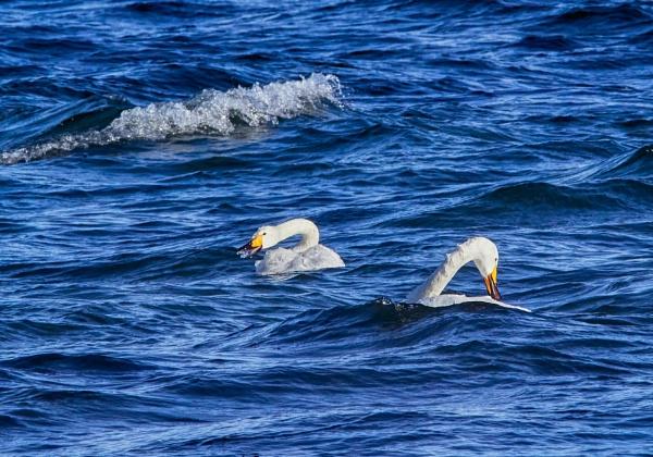Whooper swans 2 in Lake Kussharo-Ko by hannukon