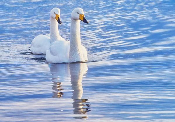 Whooper swans  in Abashiri by hannukon