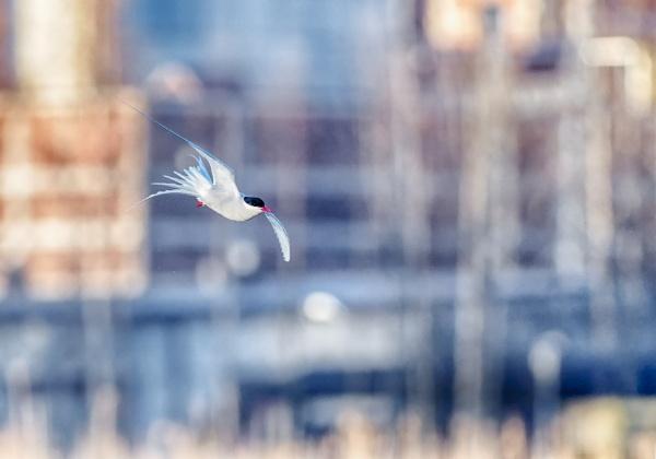 Common tern in Suomenoja by hannukon