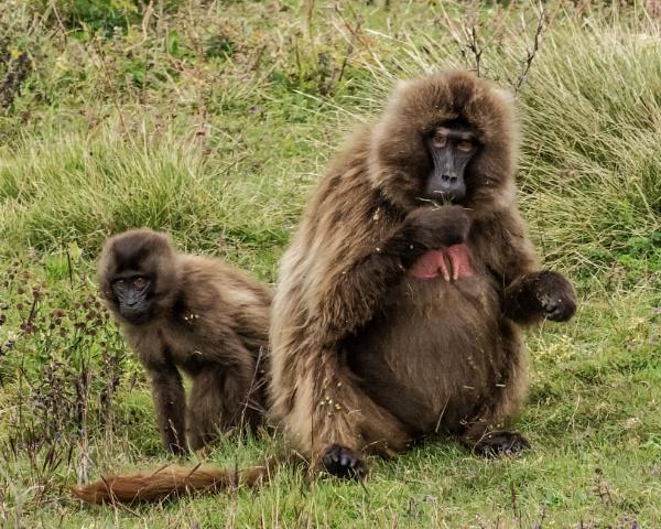 Gelada Baboons - Ethiopia by barryyoungnz