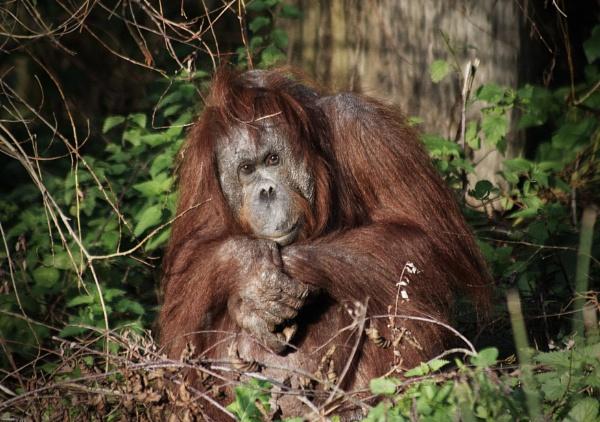 Orangutan by GeoffRundle