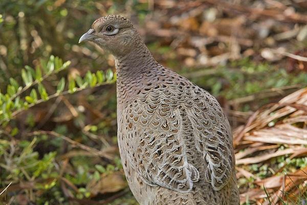 Pheasant by johnsd