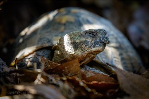 Hermann\'s tortoise - Testudo hermanni by Mendipman