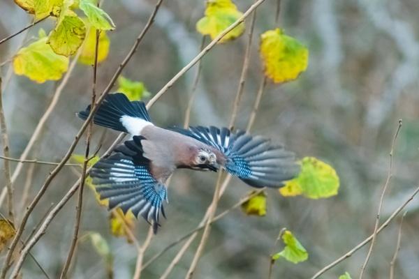 jay in flight by brrttpaul