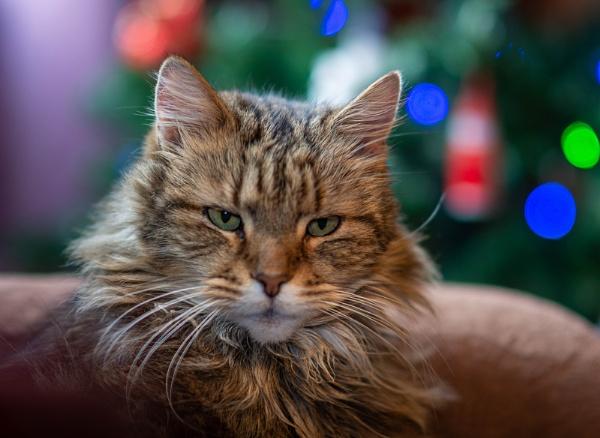 Post Christmas Cat