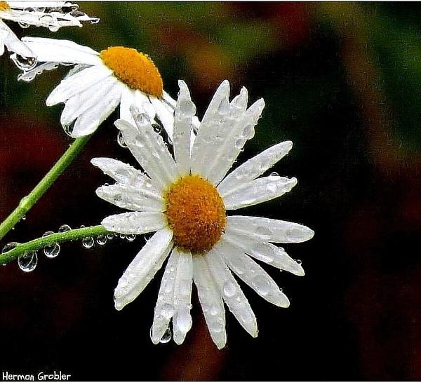 Wet white Daisy by Hermanus