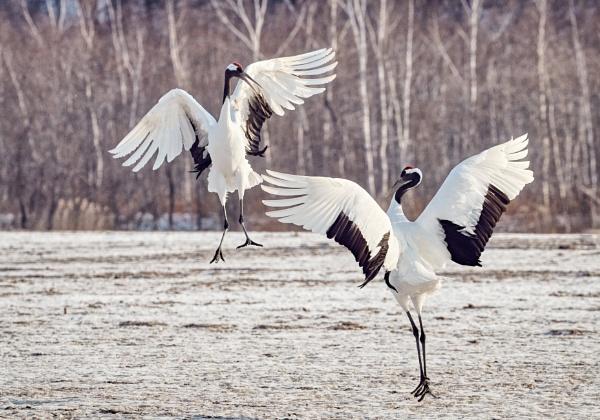 Red-crowned cranes in Akan by hannukon