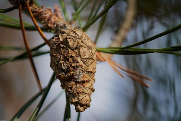 Pine cone by LotaLota