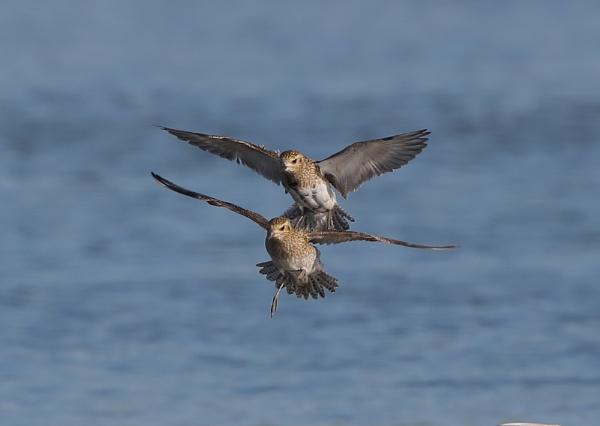 Golden Plovers in Flight by NeilSchofield