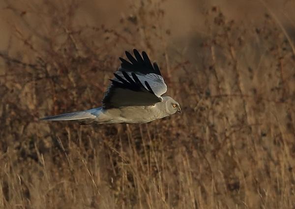 Hen Harrier by NeilSchofield