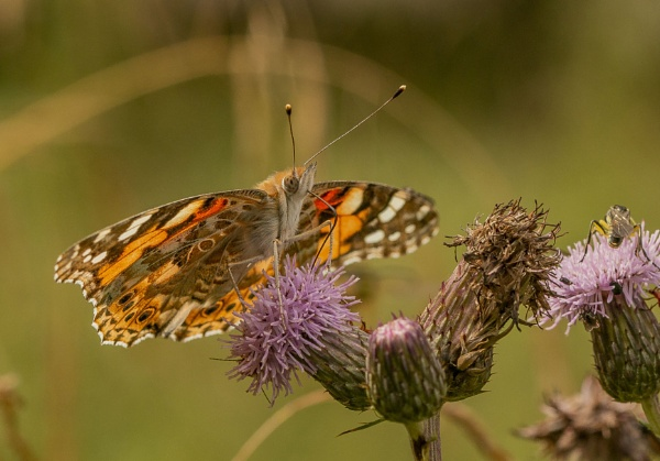 Painted Lady by Mike_Smith