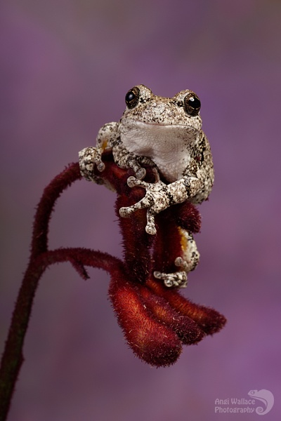 Grays tree frog by Angi_Wallace
