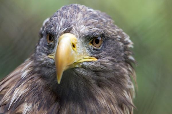 White-tailed Sea Eagle (Haliaeetus albicilla) by Phil_Bird