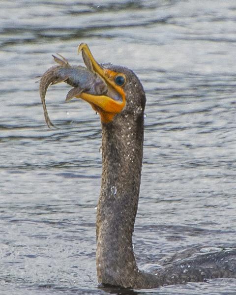 Cormorant with fish by jbsaladino