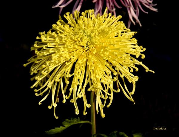Yellow Spider Chrysanthemum..2 by debu