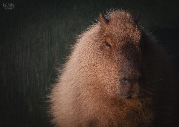 Capybara by MartinWait