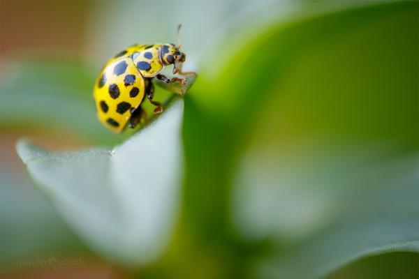 22 Spot Ladybird - Psyllobora vigintiduopunctata by Mendipman