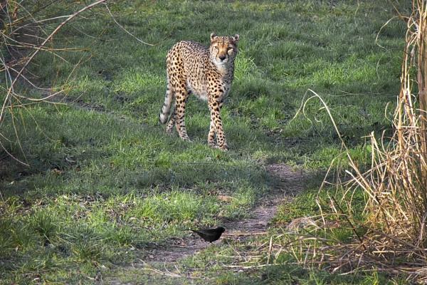 Cheetah and Blackbird by HelenaJ