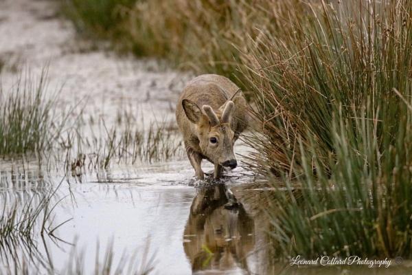 Somerset water deer. by Lencollard