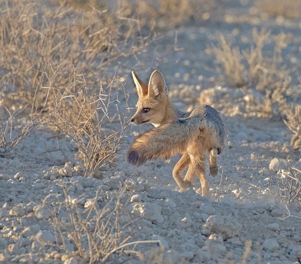 The beautiful Cape Fox by Juanita