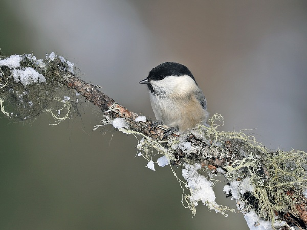 Parus montanus by GPMASS