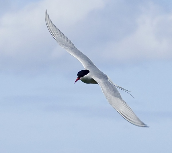 Arctic Tern On Farne Islands.deb by Debmercury
