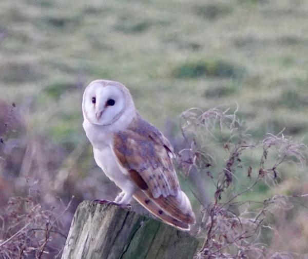 Barn Owl At Martinmere Burscough. by Debmercury
