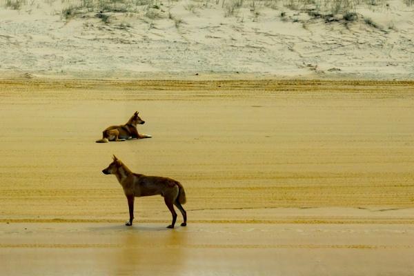 Dingoes by terra