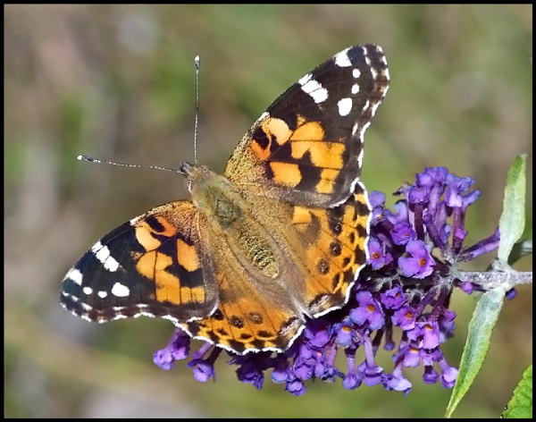 Painted Lady Basking on Buddleia :- by Badgerfred