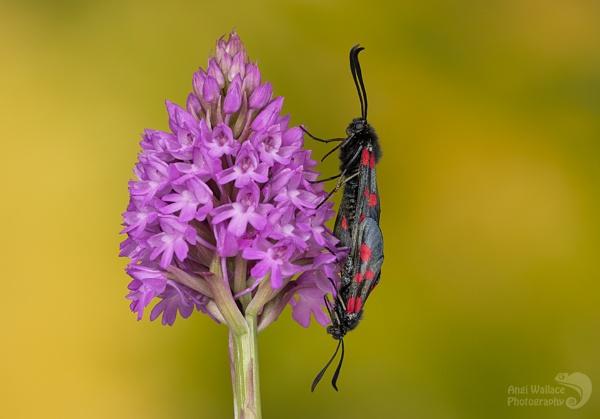 Burnett moths by Angi_Wallace