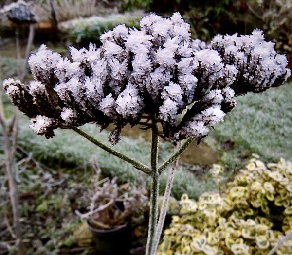 Garden in Winter.  Jack Frost decorates viburnum stalk by derekp